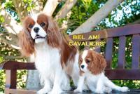 Bel Ami Cavaliers